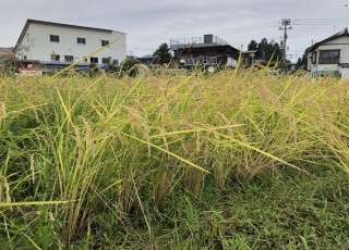 不耕起栽培のコシヒカリ