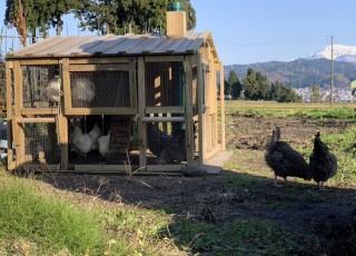 鶏の能力について